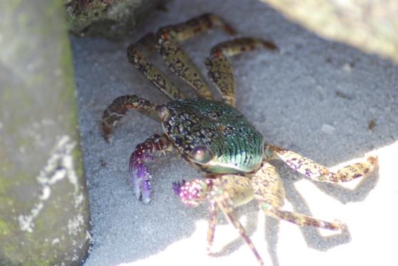 bunte Krabbe auf Nahrungssuche