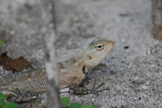 maledivischer Drache