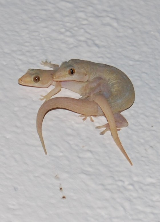 Geckos beim Sex ;-)